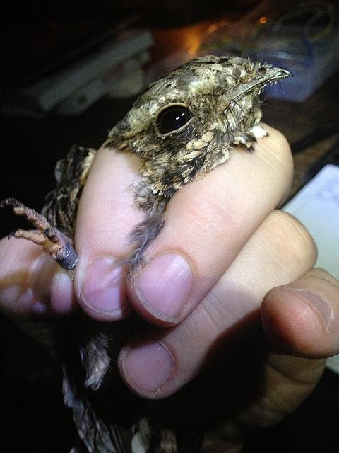 Fiery Necked Nightjar craig