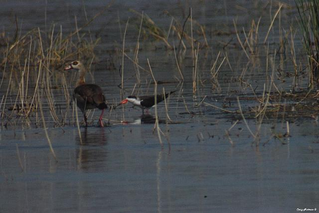 African Skimmer and Egyptian Goose